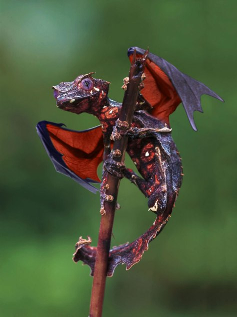 The-satanic-leaf-tailed-gecko-with-flying-fox-wings