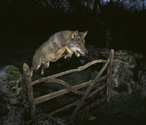 wolfJumpingOverFence
